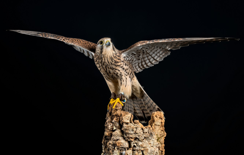 Photo wallpaper bird, stump, wings, the dark background, Kestrel