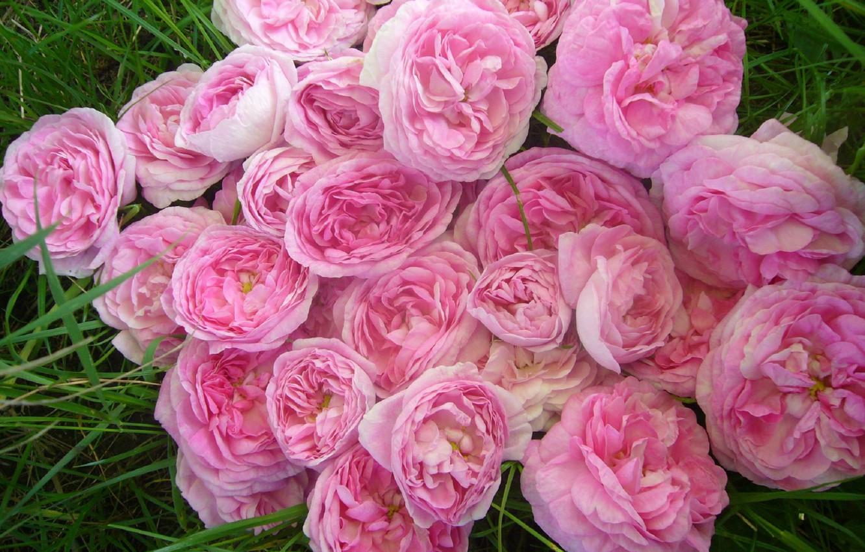 Photo wallpaper flowers, rose, lipestki