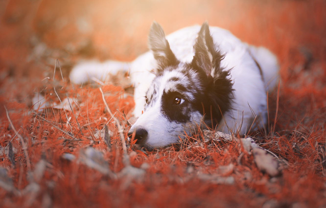 Photo wallpaper autumn, grass, look, nature, portrait, dog, lies, the border collie