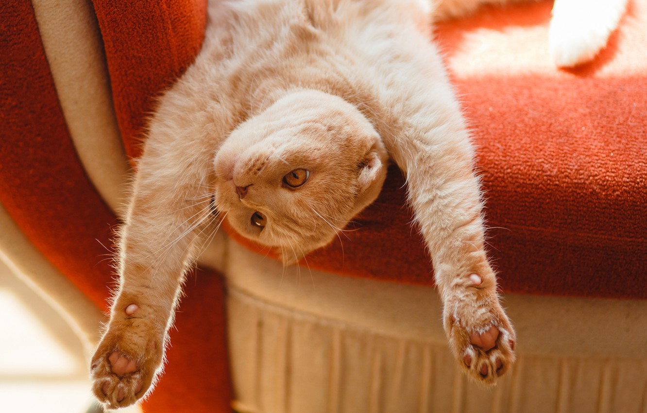 Photo wallpaper cat, cat, stay, paws, red, muzzle, chill, cat