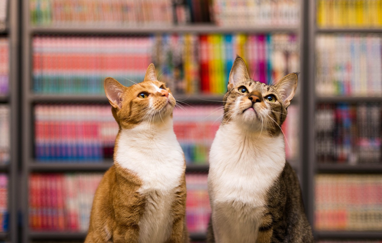 Photo wallpaper cat, cats, grey, cats, books, red, library, a couple, two, shelves, scientists, experts, proud, two …