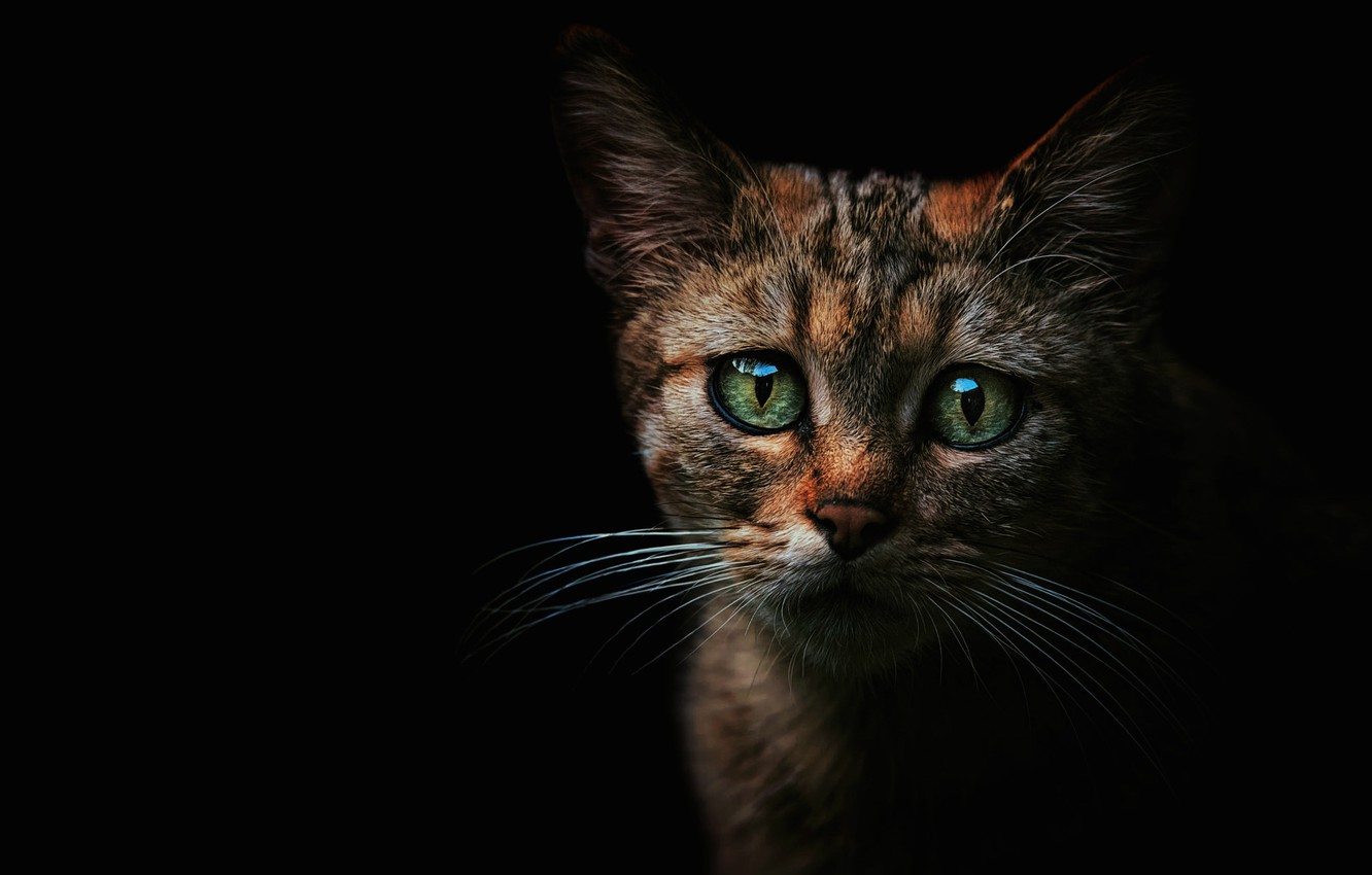 Photo wallpaper cat, eyes, look, face, kitty, Shine, cat, green, black background, kitty, striped, the expression, wild, …
