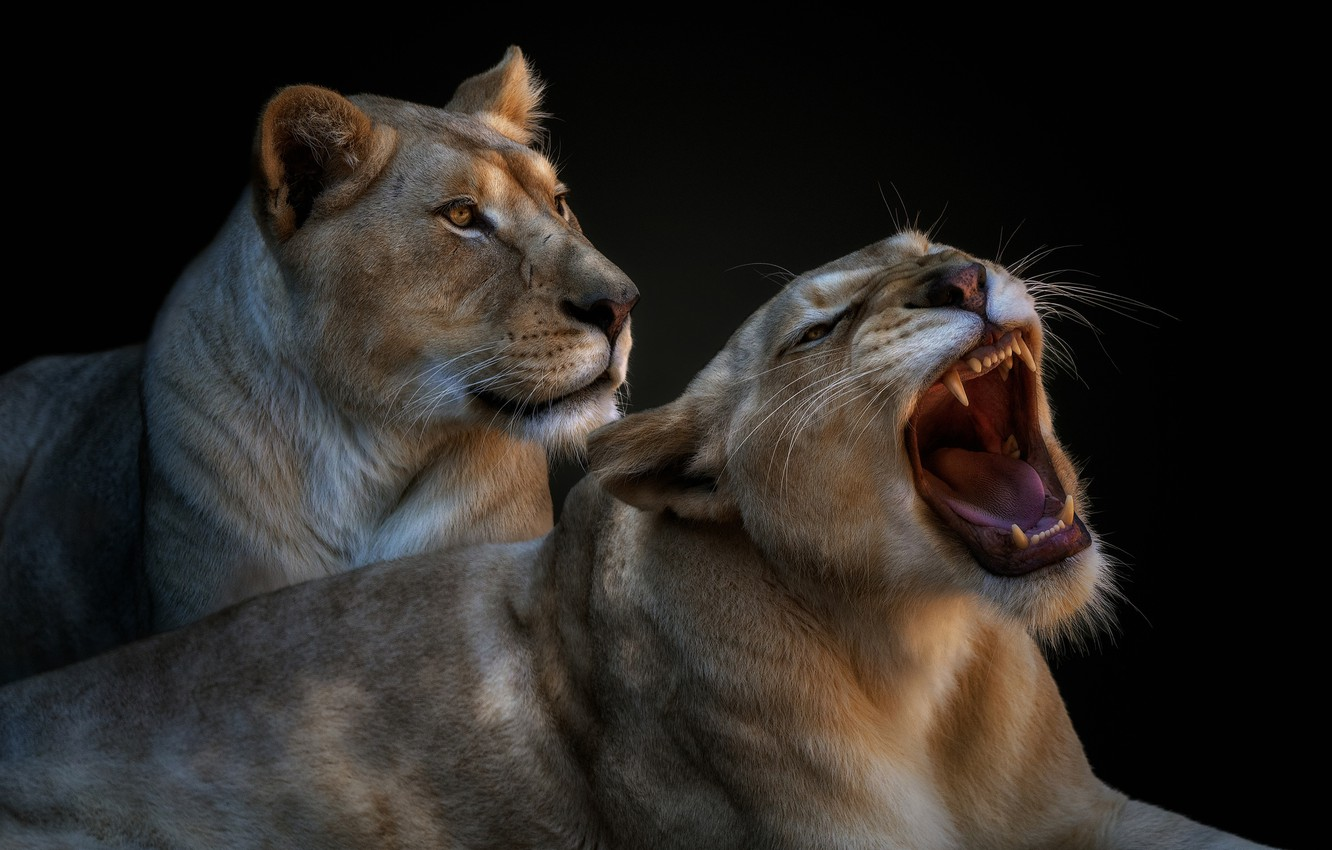 Photo wallpaper pair, grin, lioness