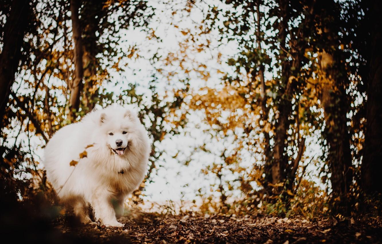 Photo wallpaper autumn, forest, white, dog, fluffy, the Japanese Spitz