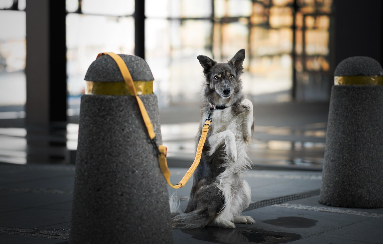Photo wallpaper glass, pose, background, Windows, dog, paws, leash, the room, stand, columns, the border collie