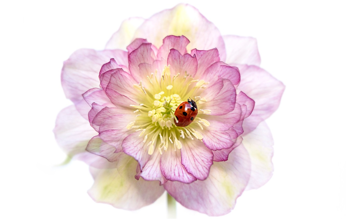 Photo wallpaper flower, macro, red, pink, ladybug, beetle, blur, petals, white background, insect, bug