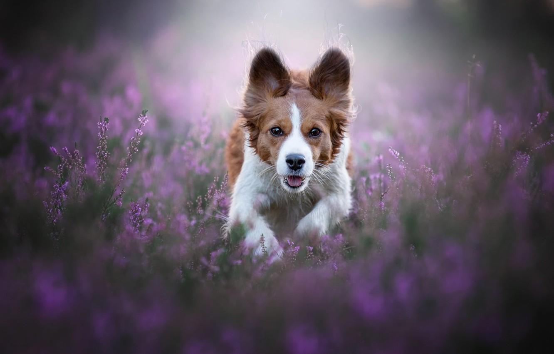 Photo wallpaper face, joy, happiness, flowers, nature, pose, jump, glade, dog, running, red, walk, ears, runs, Heather, …