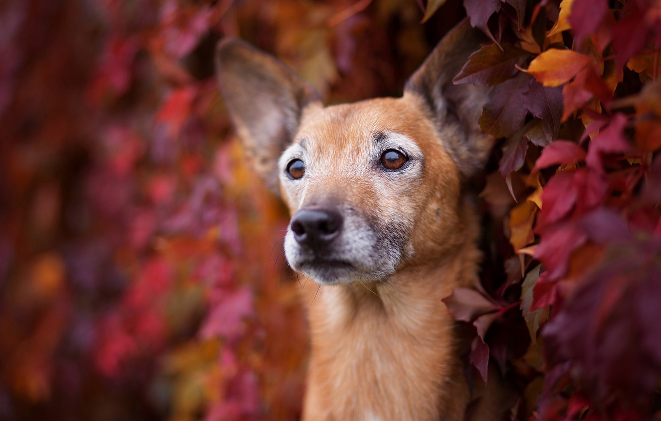 Photo wallpaper sadness, autumn, eyes, look, face, leaves, foliage, portrait, dog, the bushes, colorful, breed, Liana, wild …