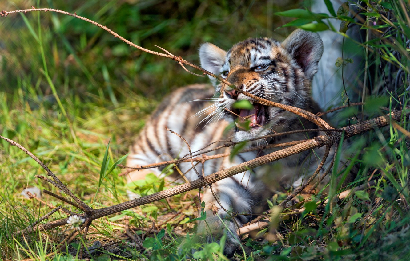 Photo wallpaper greens, summer, grass, look, light, branches, nature, tiger, pose, baby, mouth, lies, face, wild cat, …