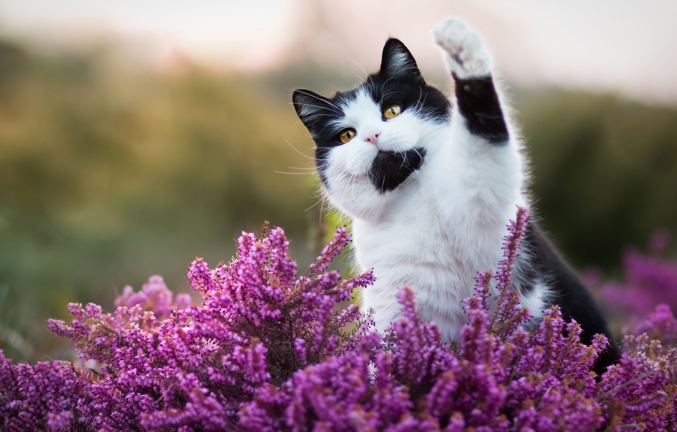 Photo wallpaper cat, cat, look, face, flowers, nature, pose, background, black and white, paw, cat, pink, Kote, …
