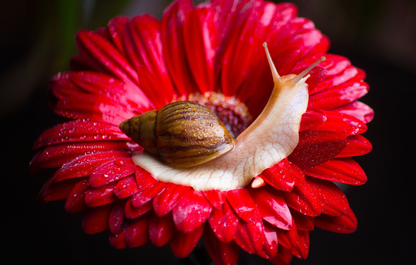 Photo wallpaper flower, macro, background, snail, petals, gerbera