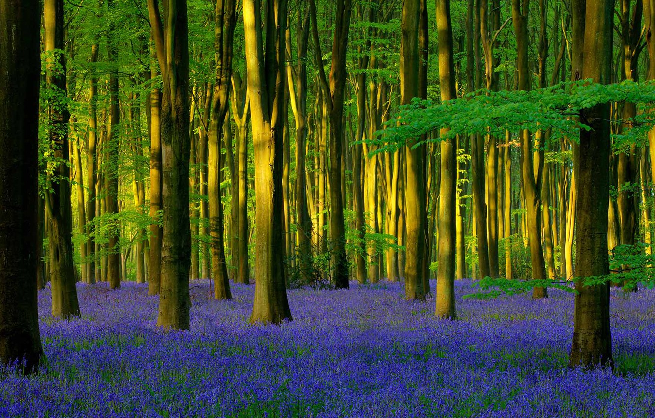 Photo wallpaper forest, trees, flowers, England, spring, bell, Hampshire, hyacinthoides undescribed, Micheldever Wood