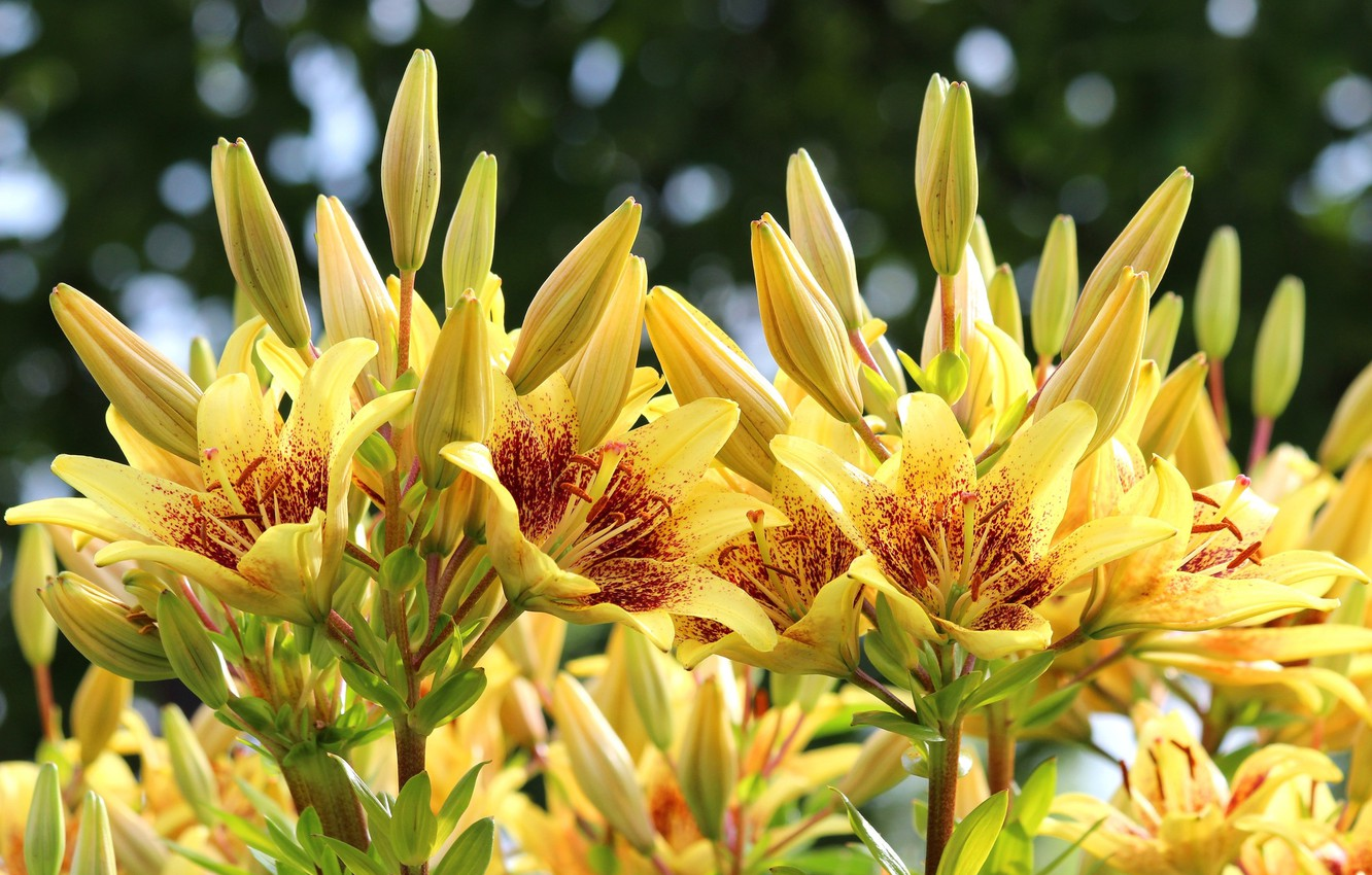 Photo wallpaper summer, Lily, flowerbed, yellow lilies