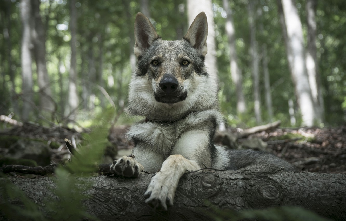 Photo wallpaper forest, look, face, wolf, portrait, dog, lies, log, grey, wolf dog is a sarloos passed …