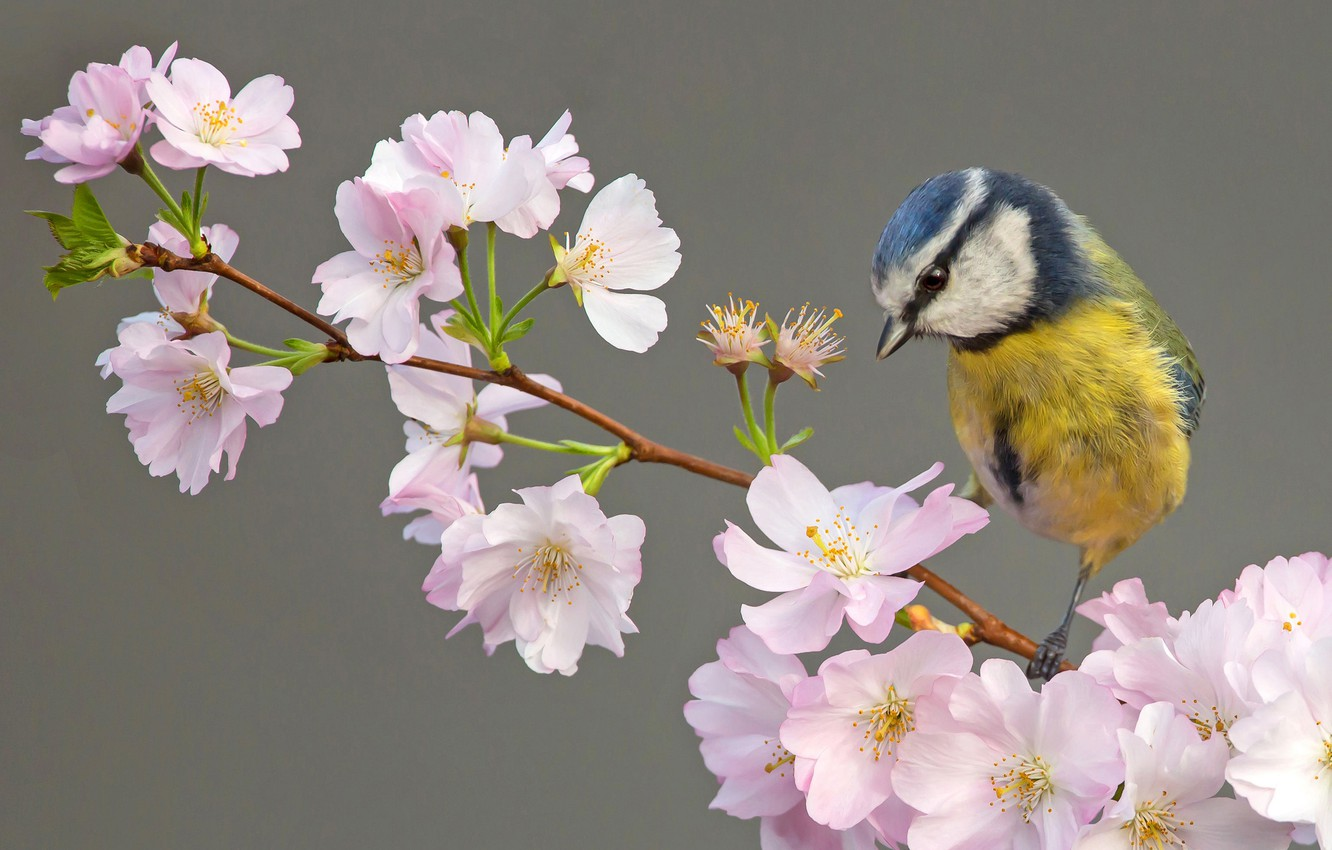 Photo wallpaper background, bird, flowering, flowers, tit, branch of cherry, Blue tit