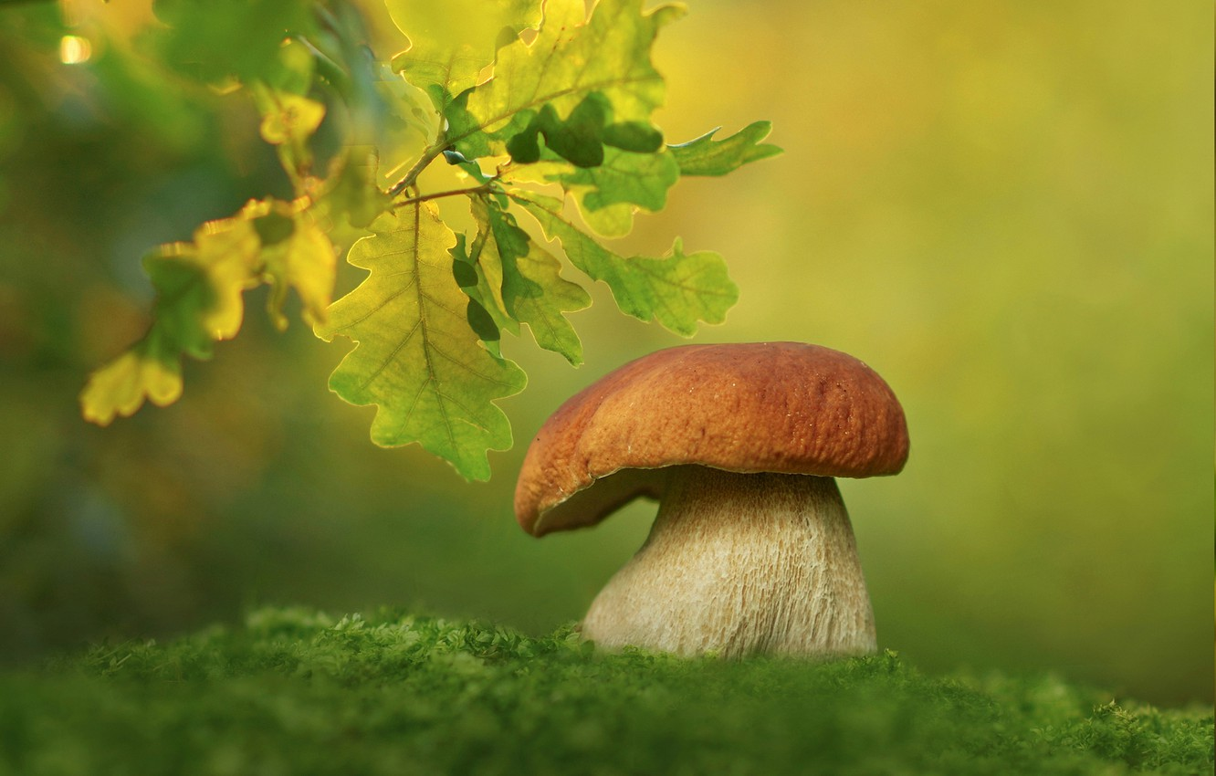 Photo wallpaper leaves, macro, background, mushroom, moss, white mushroom, Borovik, oak branch