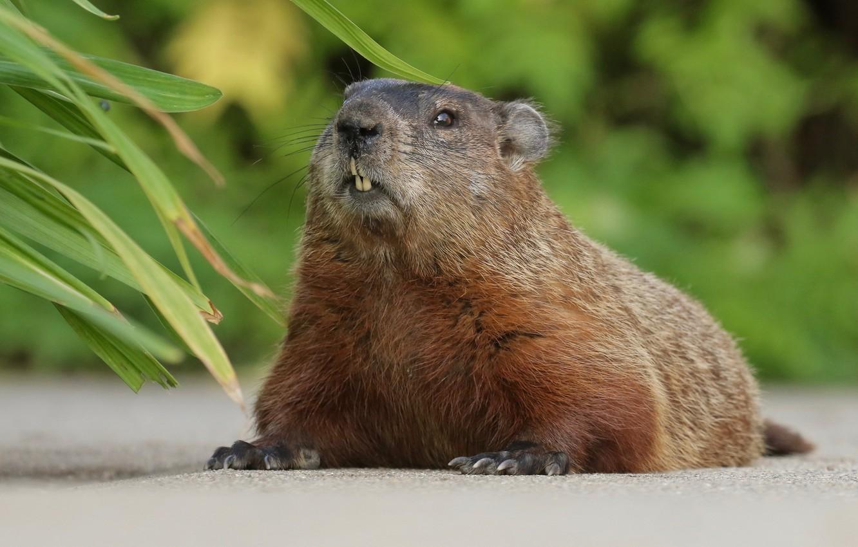 Photo wallpaper marmot, rodent, Woodchuck