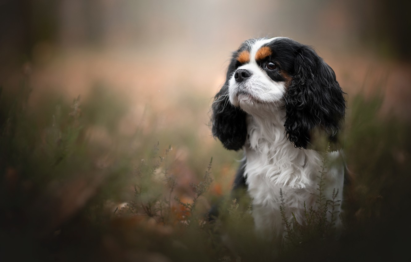 Wallpaper Portrait Dog The Cavalier King Charles Spaniel Images