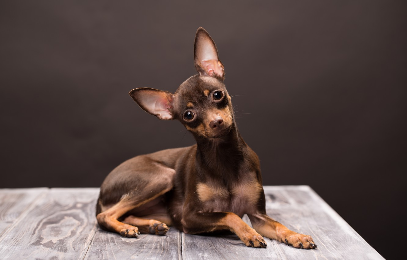 Photo wallpaper look, dog, muzzle, brown, Russian toy Terrier