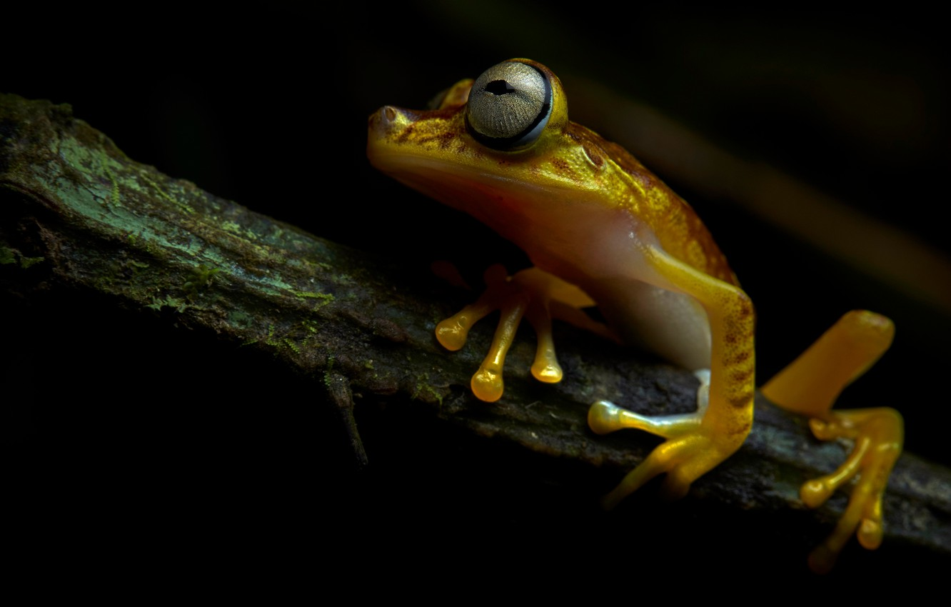 Photo wallpaper look, frog, branch, black background, sitting, yellow