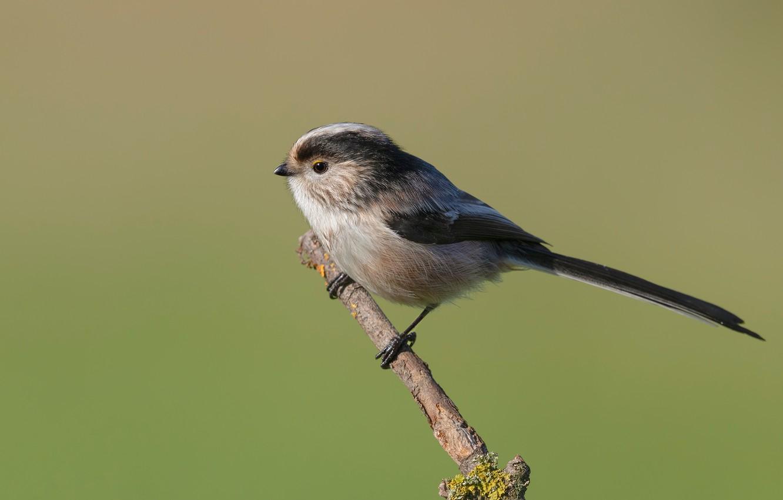 Photo wallpaper bird, branch, long-tailed tit, bird, pichuga, polovnik