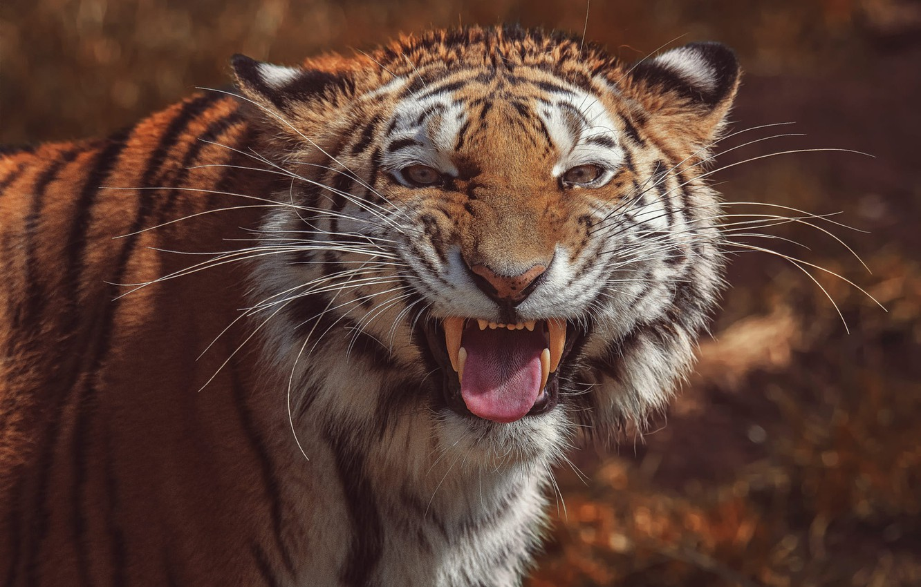 Photo wallpaper language, look, face, tiger, background, portrait, mouth, fangs, grin, wild cat