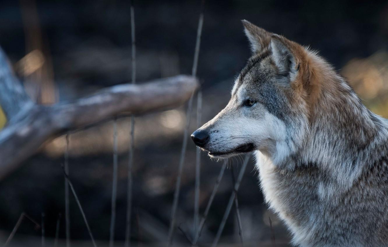 Photo wallpaper face, wolf, portrait, profile