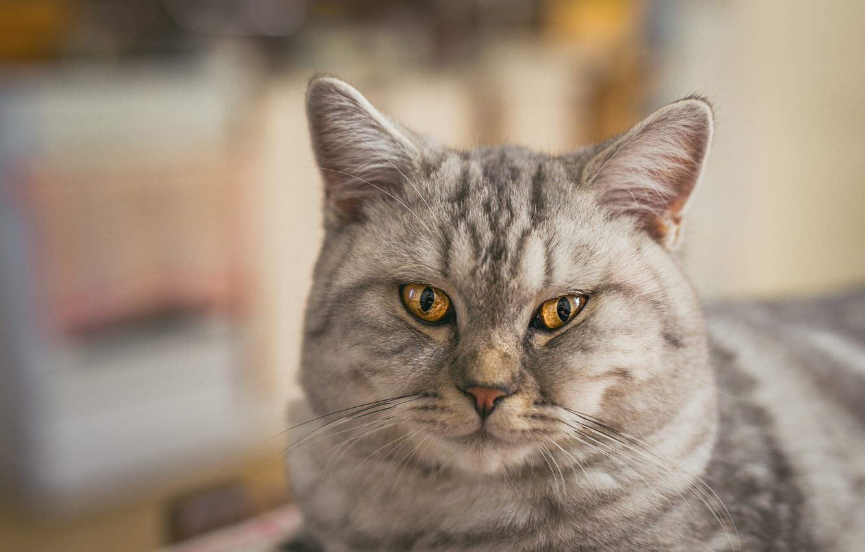Photo wallpaper cat, cat, look, face, grey, portrait, striped, British, bokeh, blurred background, yellow eyes, Scottish