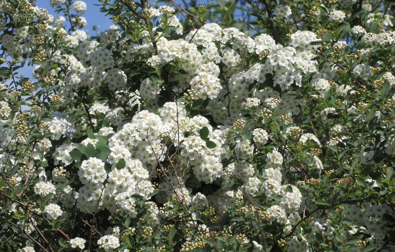 Photo wallpaper flowers, Bush, white flowers, spring 2018, Mamala ©