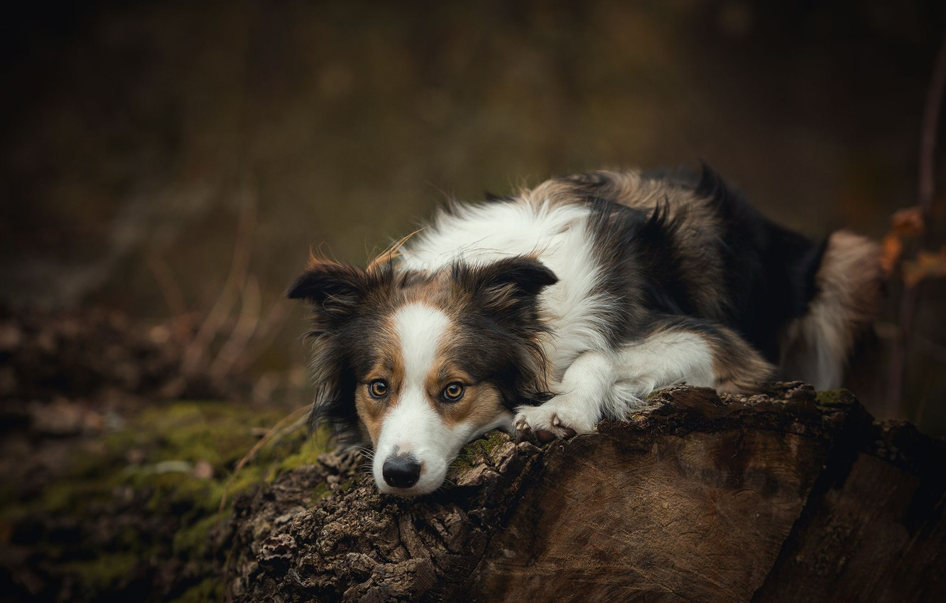 Photo wallpaper nature, the dark background, tree, dog, lies, log, spotted