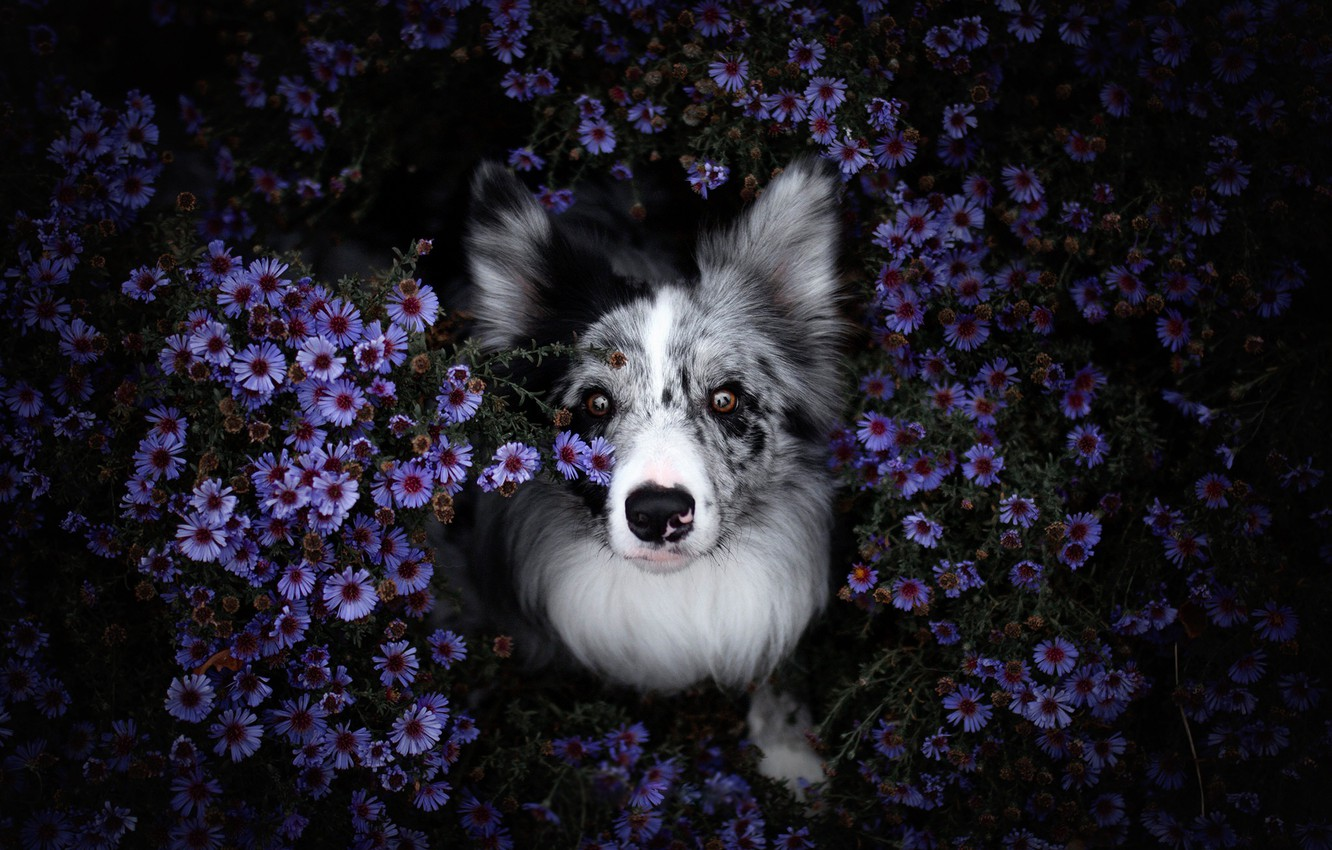 Photo wallpaper summer, look, face, flowers, nature, the dark background, portrait, dog, purple, view, the border collie