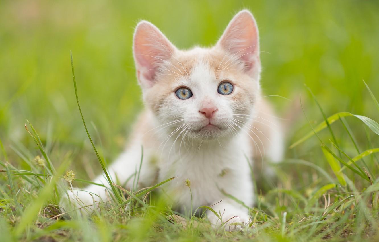 Photo wallpaper grass, look, muzzle, kitty, ears