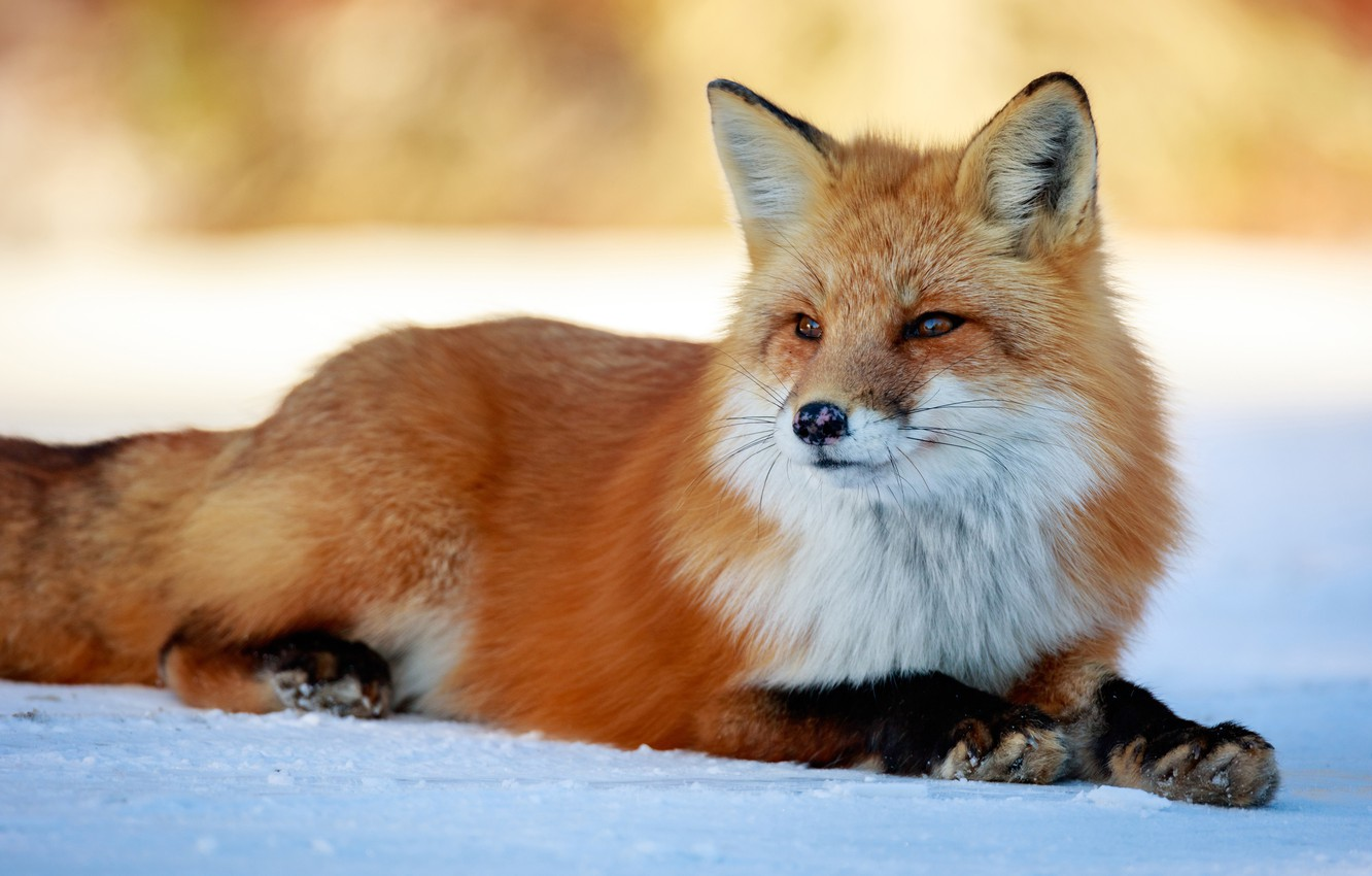 Photo wallpaper winter, look, face, snow, nature, background, paws, Fox, beauty, lies, red, Fox
