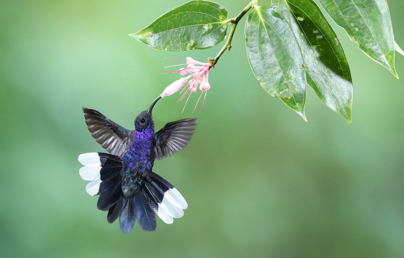 Photo wallpaper flower, leaves, background, bird, branch, feathers, Hummingbird, Purple cableknit