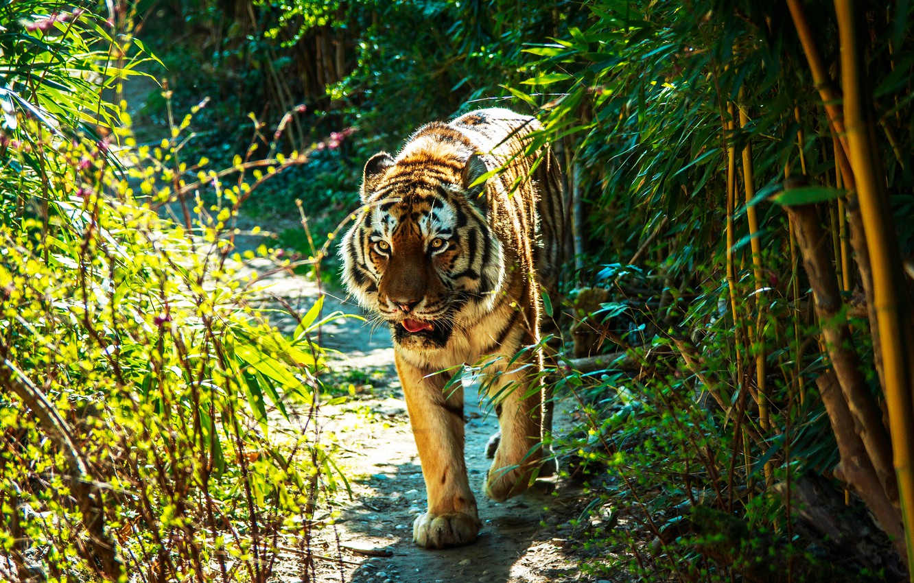 Photo wallpaper greens, summer, grass, look, face, leaves, light, branches, nature, tiger, trail, bamboo, mouth, walk, the …