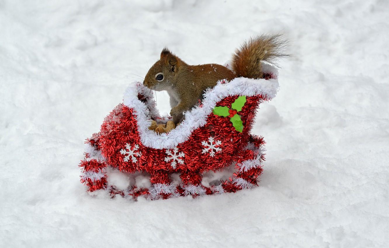 Photo wallpaper winter, animals, snow, new year, protein, nuts, new year, sleigh, animals, winter, background, snow, animal, …