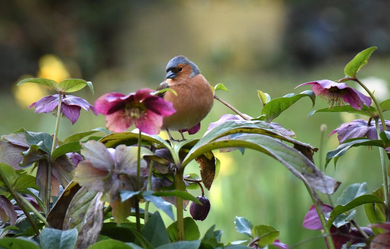 Photo wallpaper flowers, nature, bird, hellebore, Chaffinch