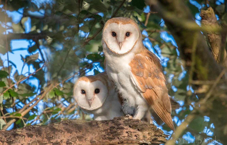 Photo wallpaper birds, tree, owls, a couple, The barn owl