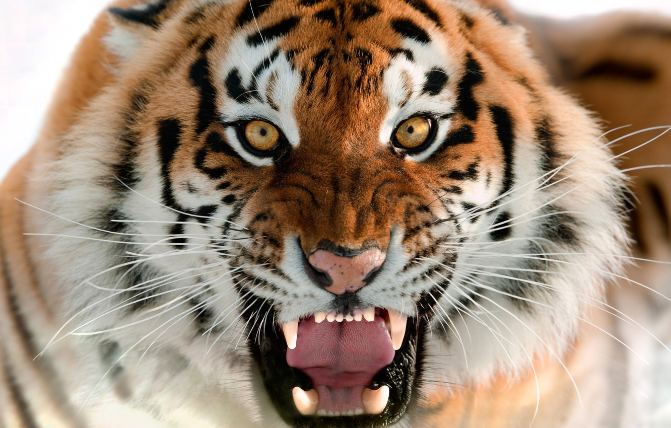Photo wallpaper cat, face, tiger, teeth, mouth, beast, tiger, cat, FAS