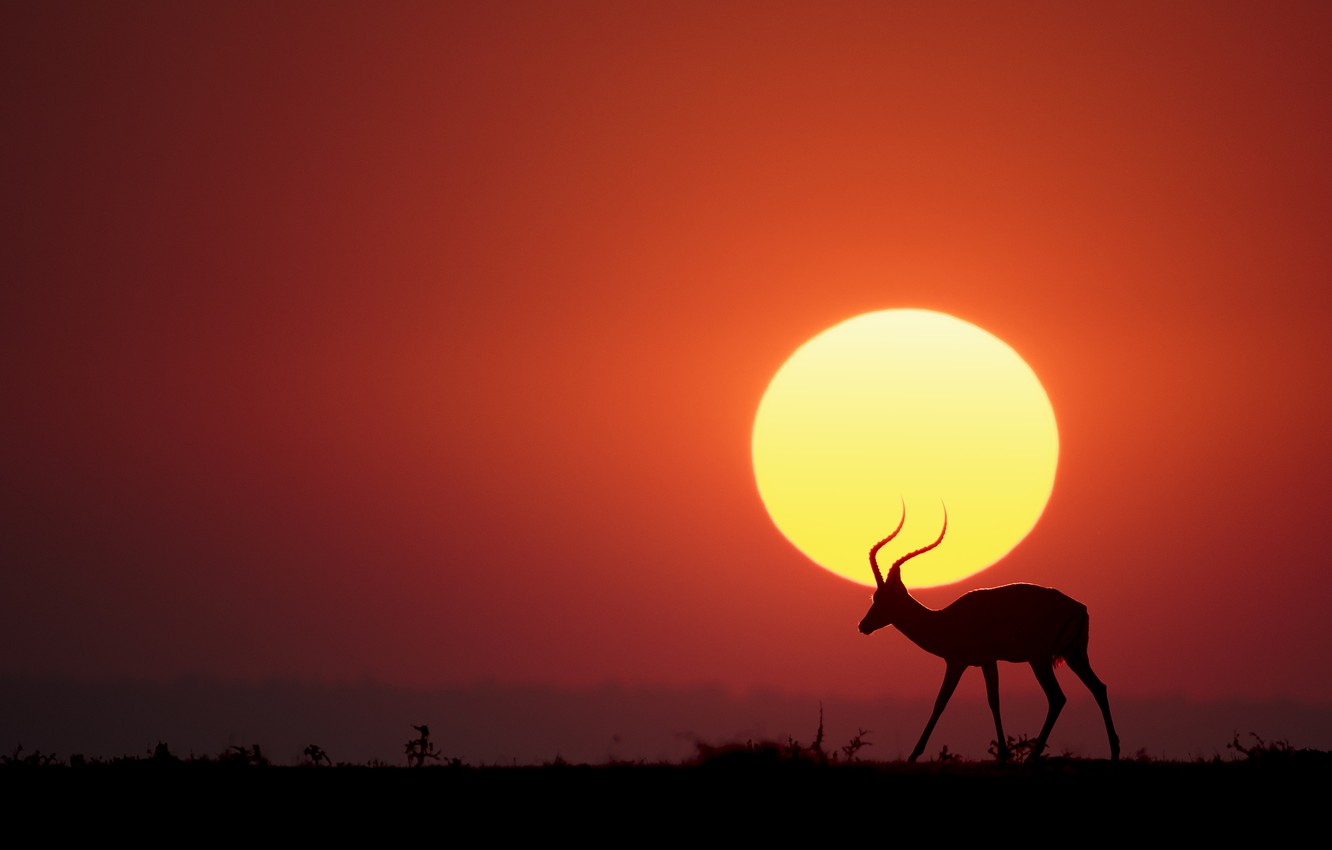 Photo wallpaper The sun, Savannah, sun, savannah, antelope, antelope, Renee Doyle