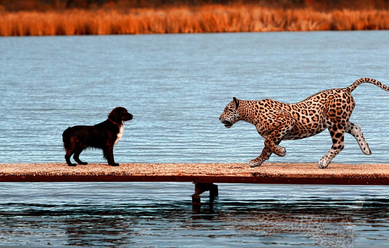 Photo wallpaper rendering, jump, collage, shore, meeting, dog, pierce, Jaguar, a couple, the bridge, wild cat, pond, …