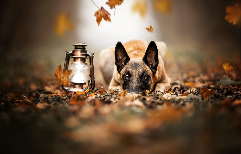 Photo wallpaper autumn, look, face, leaves, dog, lantern, Malinois, Belgian shepherd