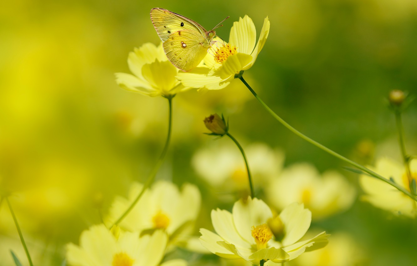 Photo wallpaper summer, macro, light, flowers, background, butterfly, yellow, garden, insect, yellow, bokeh, wasmay