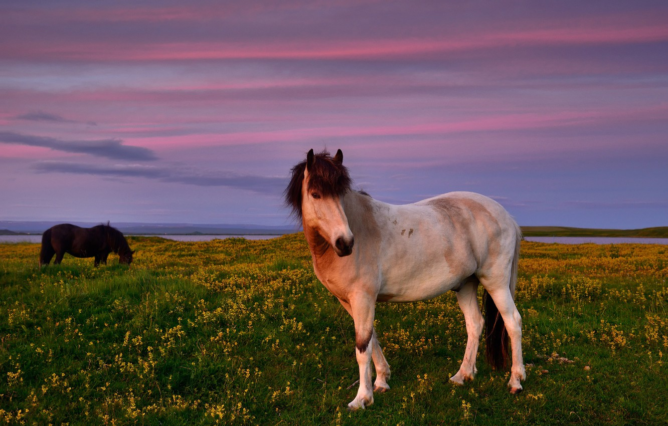 Photo wallpaper field, white, summer, the sky, landscape, sunset, flowers, nature, horse, horse, horses, the evening, yellow, …