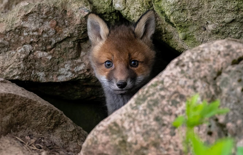 Photo wallpaper nature, stones, animal, muzzle, cub, Fox