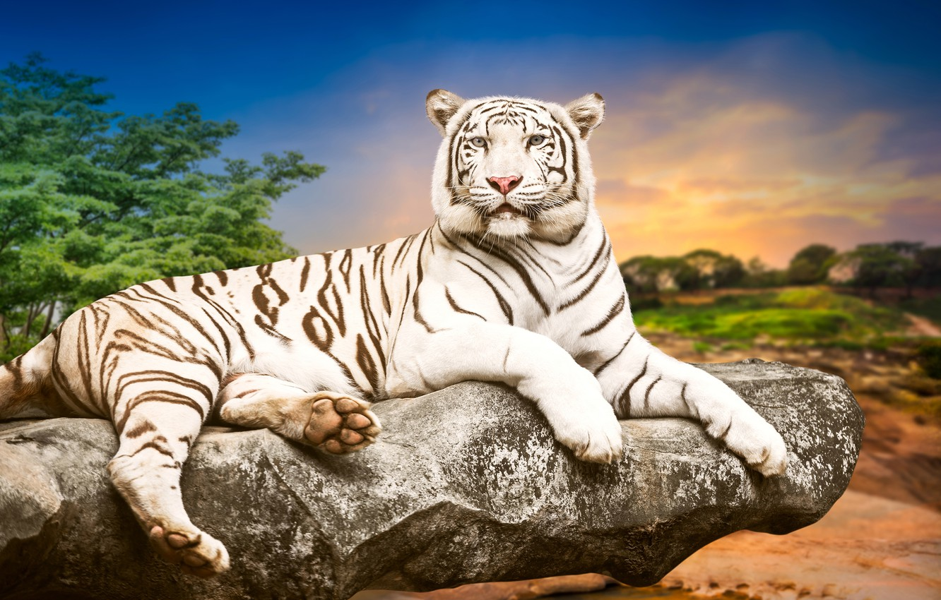 Photo wallpaper trees, landscape, nature, tiger, background, stone, predator, lies, white tiger, resting, handsome, bokeh