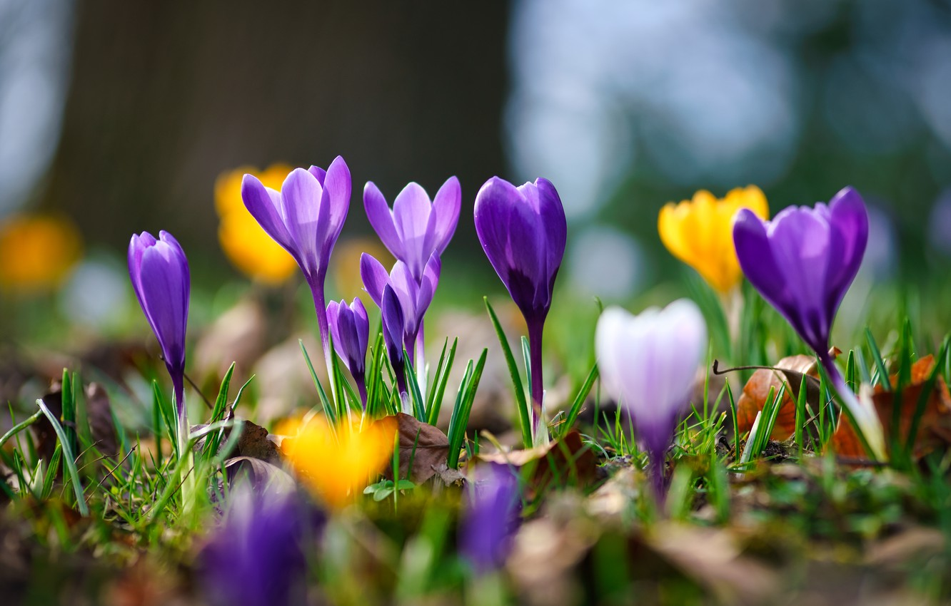 Photo wallpaper macro, spring, bokeh, Crocuses, Saffron