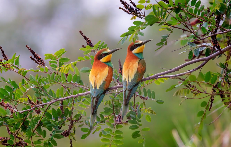 Photo wallpaper leaves, birds, nature, branch, pair, peeled, European bee-eater