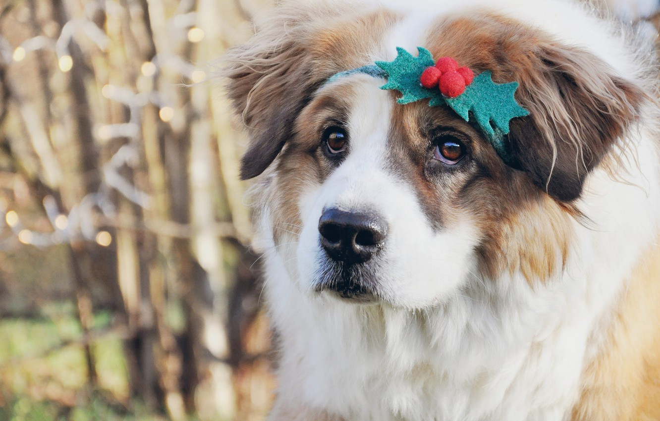 Photo wallpaper look, branches, nature, pose, berries, portrait, dog, Christmas, St. Bernard, puppy, New year, face, bokeh, …