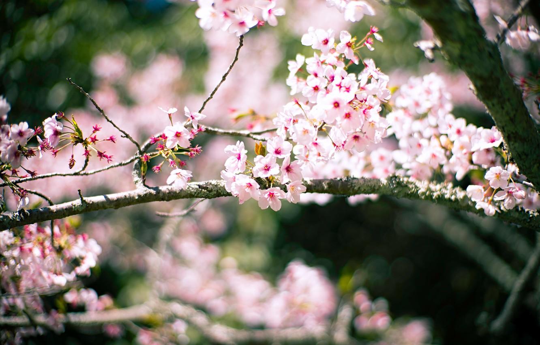 Photo wallpaper light, flowers, branches, cherry, background, blur, spring, Sakura, flowering, bokeh
